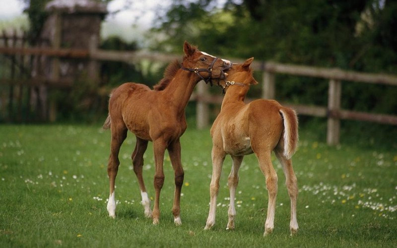 thoroughbred-foal-ireland-the-irish-image-collection-